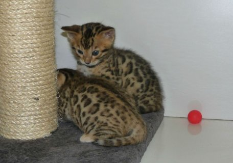 صور Bengal Kitten for exmass 1