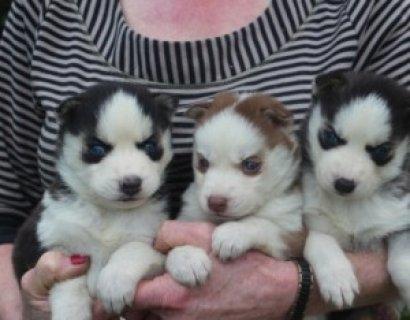 Blue Eyed Siberian Husky for Sale