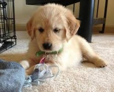 Now Well Trained Golden Retriever Puppies