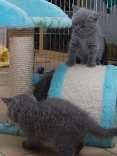 British short hair kittens for adoption