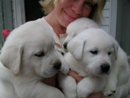 Labrador Retriever (lab) Puppies For Sale
