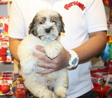 Male and female Havanese puppies for sale