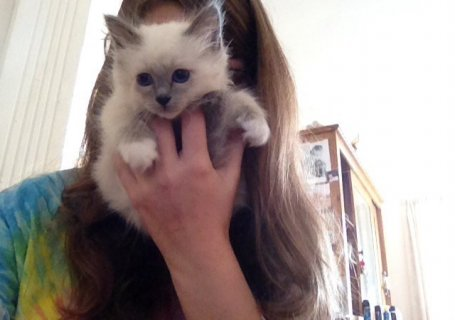 birman  kittens for adoption