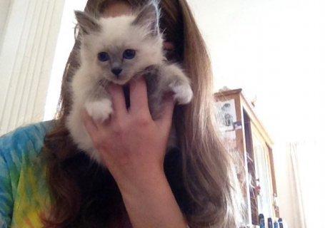 birman  kittens for adoption