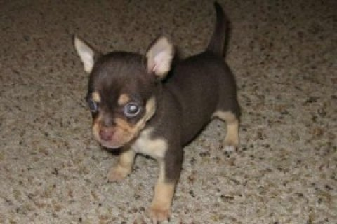 صور Two Chihuahua Pups Available Now 1