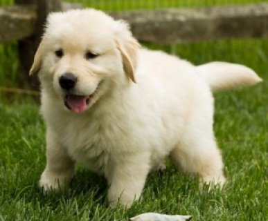 Male and female Golden Retriever puppies.