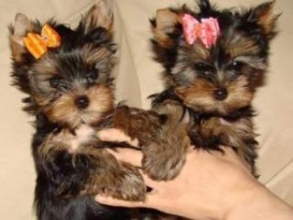 Healthy Home Trained T-Cup Yorkie pups for adoption