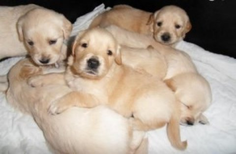 صور  Outstanding litter of quality Golden Retriever puppies.  1