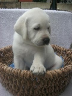 Adorable Labrador puppy looking for new home