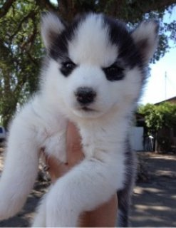 Adorable Siberian Husky Puppies for Adoption.