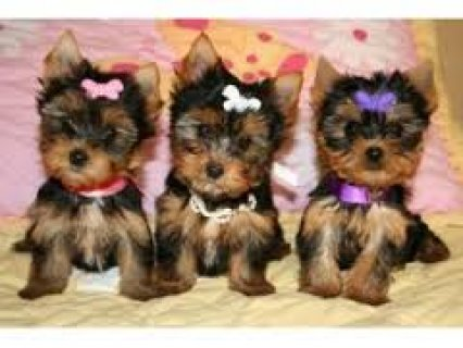 صور Quality Teacup Yorkies Puppies 1