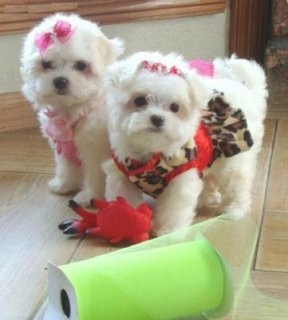 Stunning T-Cup Maltese Puppies for adoption