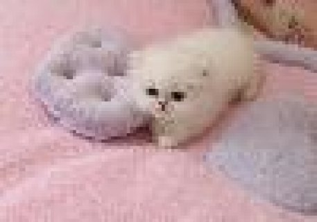 صور Lovely Persian Kittens Male and Female 1