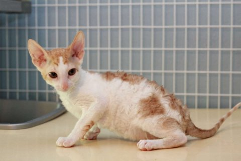 Cornish Rex Kittens for sale