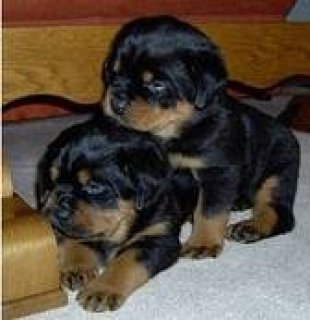 outstanding male and female rottweillers