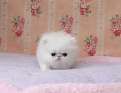 White Persian Female Kitten