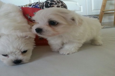 super cute maltese for good homes