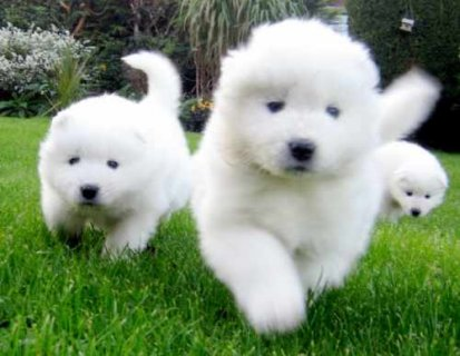 AKC Female Male Samoyed Puppies for sale