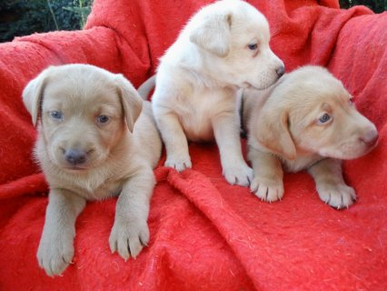Well Trained Labrador Retriever Puppies for adoption