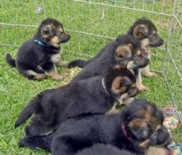 lovely German Shepherd Puppies for sale