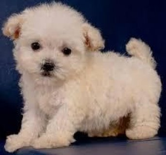 male nd female Maltipoo Puppies