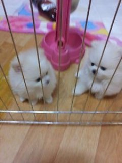 Charming Pom Puppies for good homes