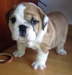 ,..,.Male and Female English Bulldog Puppies,.,m,.