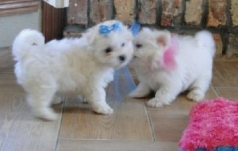 Two Maltese Puppies for Sale