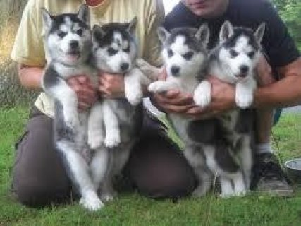 Male and Female Huskies Puppies