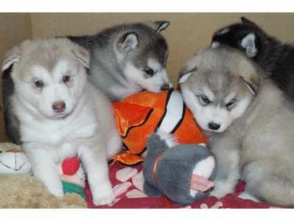 Cute Siberian Husky puppies