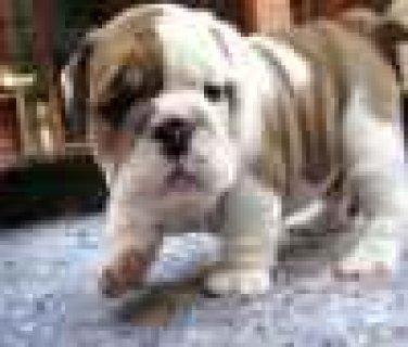 English bulldog puppies availabl