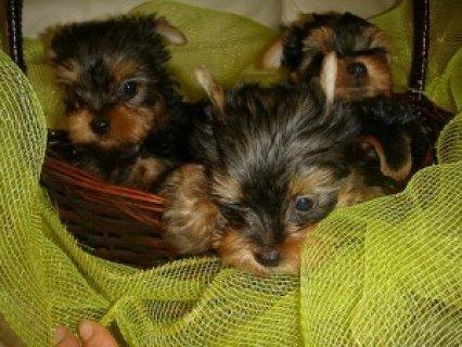 Purebred Siberian Husky Puppies For Adoption