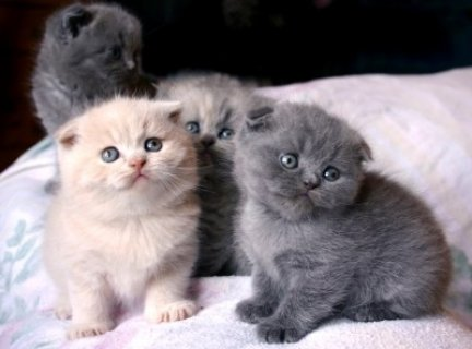Scottish Fold Kittens for good homes..