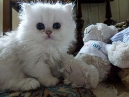 صور Cute Persian Kittens Available for adoption in bahrain,,,... 1