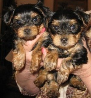Teacup Yorkie Puppies for Your home