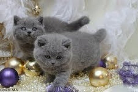 صور  Cute male and female British Shorthair kittens for sale 1