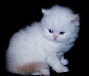well trained male and female Teacup Persian kittens