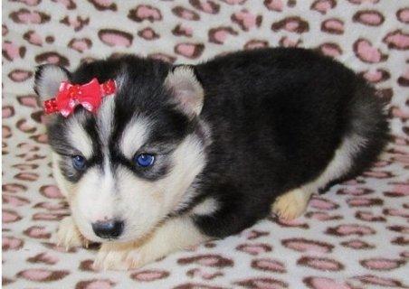 Beautiful Siberian husky puppies for sale