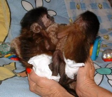 Capuchin Monkeys Need New Homes