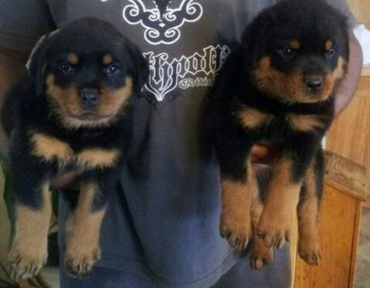 Rottweiler Puppies Available