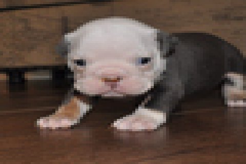 Afectionate Boston Terrier Puppies For Sell
