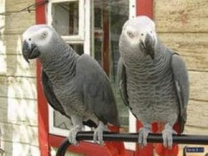 صور African Grey Parrots for sale..,, 1