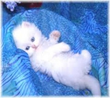 Two White Persian Kittens for sale