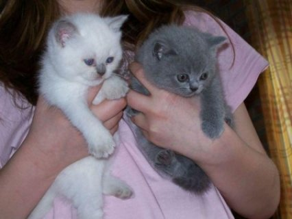 Adorable male and female British short hair kittens ready for sa