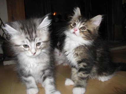 Adorable Maine Coon kittens for sale.