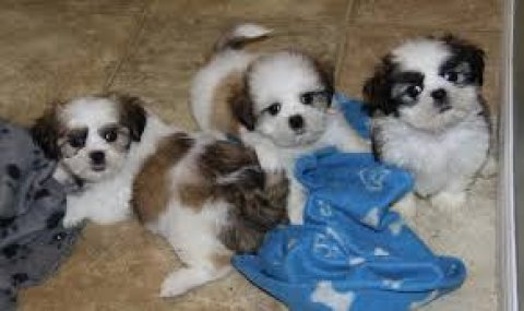 Tiny male and female Shih tzu puppies for sale.