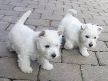 صور West Highland White Terrier puppies now available for sale 1