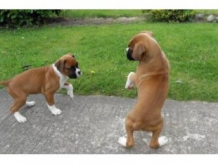Two Friendly Boxer Puppies Available for sale