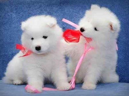 Samoyed puppies for good homes..,,,,,,