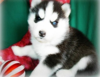 Blue Eyes Siberian Husky Puppies Now Available